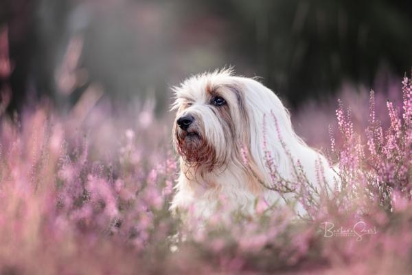 Hund in der Heidelandschaft, Tibetterrier