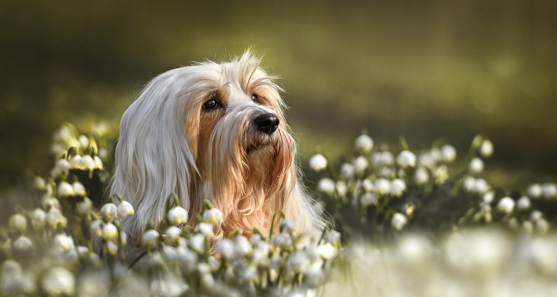 Hund liegt im Frühlingsbeet Märzenbecher